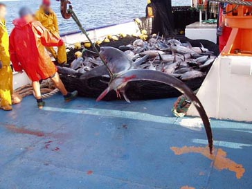 Learn More: Shark Bycatch | Oceana Europe